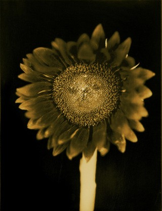 Untitled (Sunflower), by Chuck Close