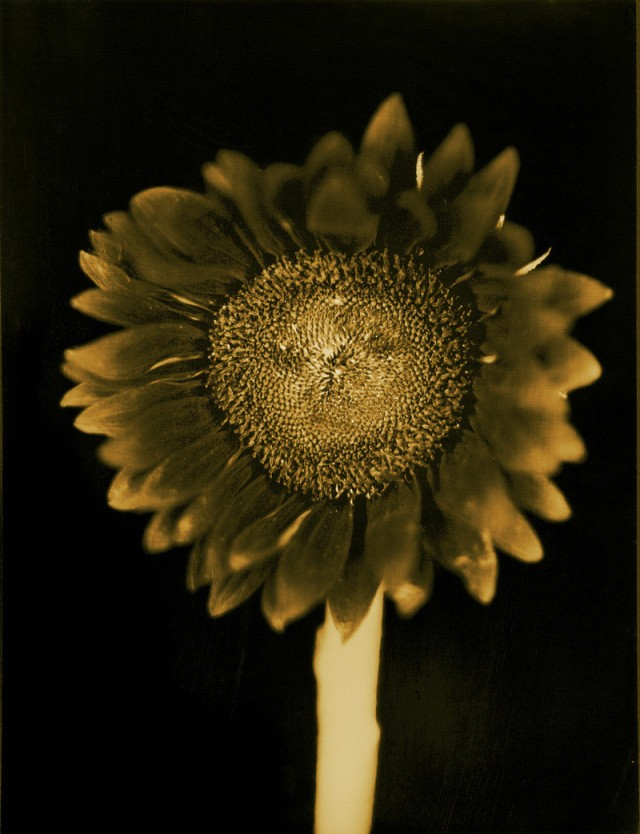 Chuck Close, Untitled (Sunflower)
