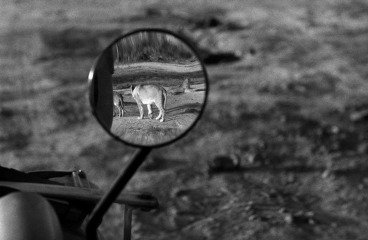 Nairobi National Park. 1958. A lioness in Nairobi National Park., by George Rodger