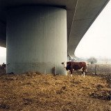 Jitka Hanzlova, Untitled (Bio Cow), from the series Here