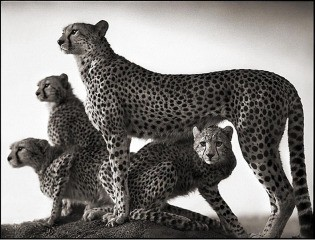 Nick Brandt Cheetah and Cubs, Maasai Mara art for sale