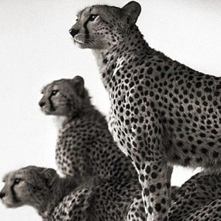 Nick Brandt, Cheetah and Cubs, Maasai Mara