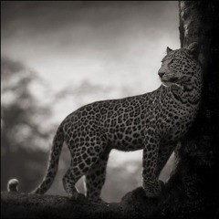 Nick Brandt Leopard in Crook of Tree, Nakuru art for sale