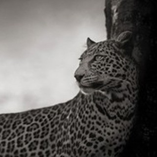 Nick Brandt, Leopard in Crook of Tree, Nakuru