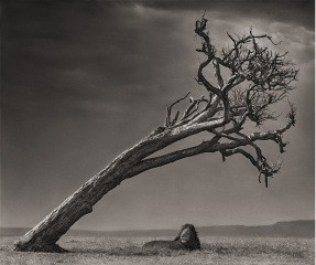 Nick Brandt Lion Under Tree art for sale