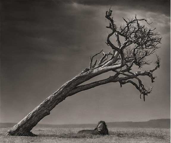 Nick Brandt, Lion Under Tree
