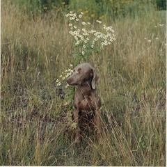William Wegman Daisy Gaze art for sale