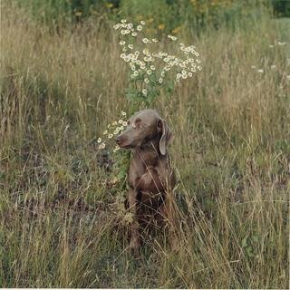 William Wegman, Daisy Gaze